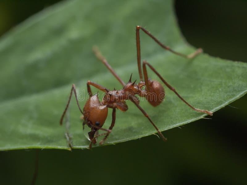Nahaufnahme einer leafcutter Ameise, die ein grünes Blatt schneidet stockfoto