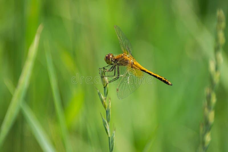 Nahaufnahme einer Libelle, unscharfer grüner Wiesen-Hintergrund, heller Sunny Summer Day stockfotografie