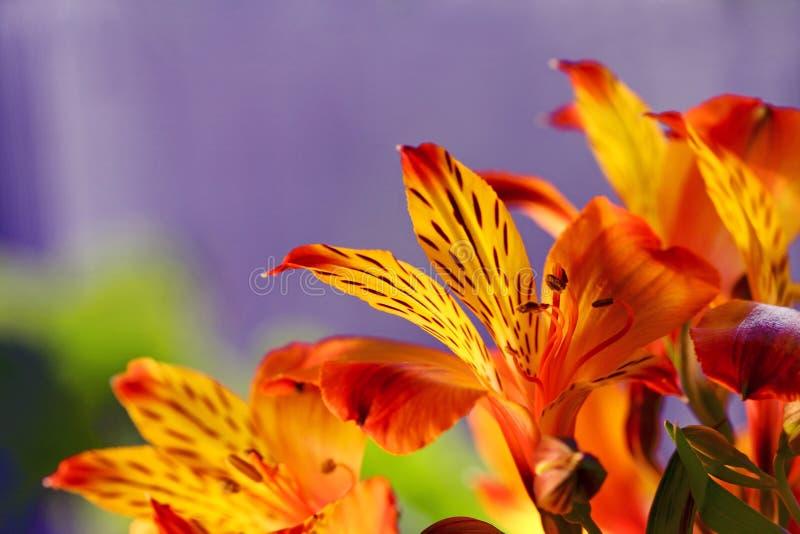 Nahaufnahme einer Lilienblume stockfotos