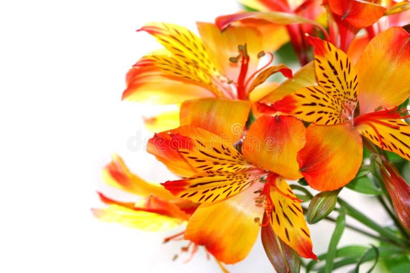 Nahaufnahme einer Lilienblume stockbild