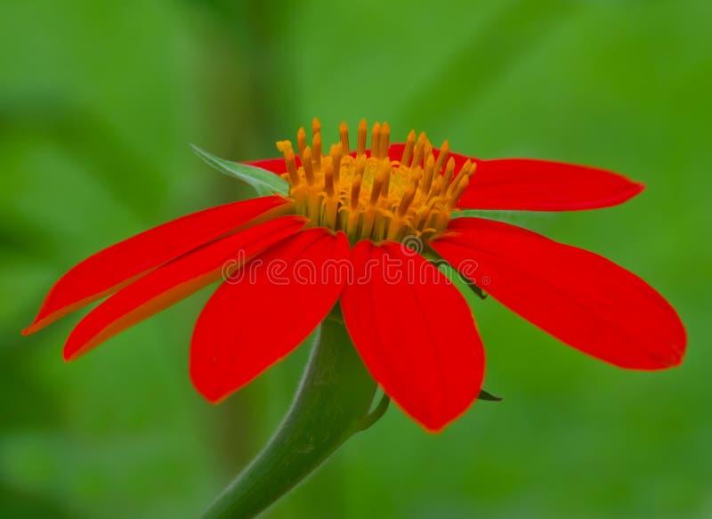 Nahaufnahme einer mexikanischen Fackel-Sonnenblume lizenzfreies stockfoto