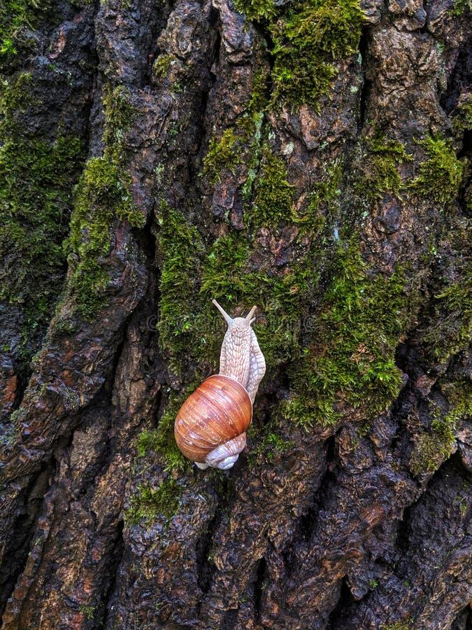 Nahaufnahme einer mittelgroßen Schnecke, die herauf einen nass Baumstamm bedeckt im grünen Moos in den natürlichen Farben kriecht stockfotografie