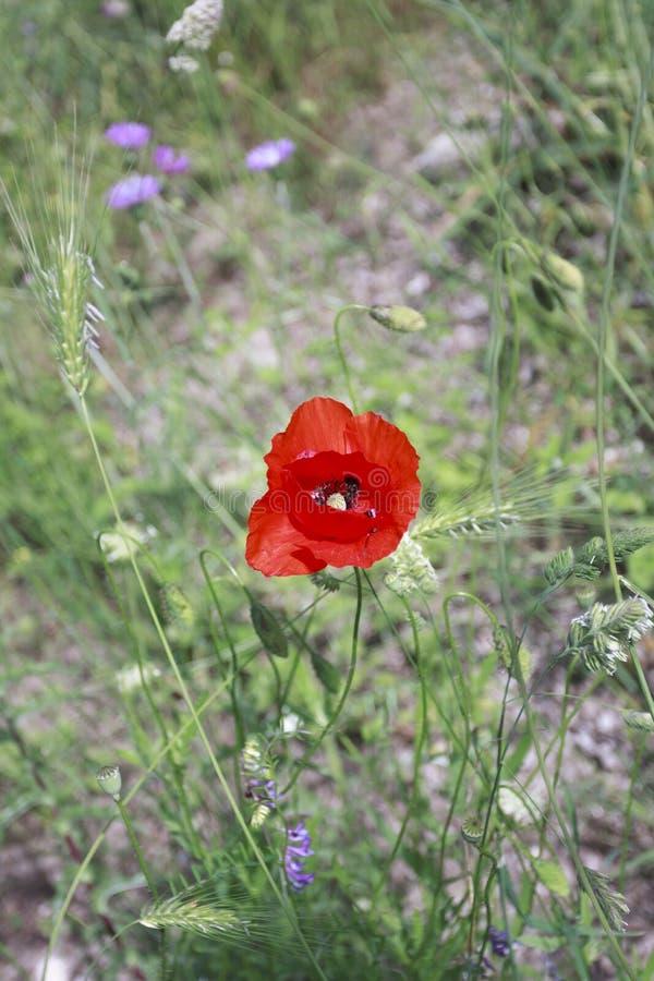 Nahaufnahme einer Mohnblume auf einem unscharfen Hintergrund des grünen Rasens stockbilder