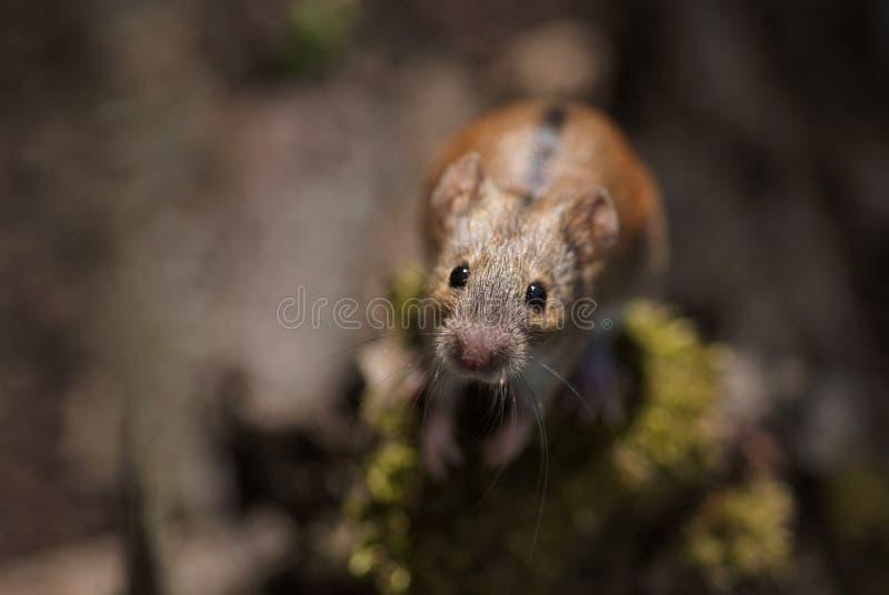 Nahaufnahme einer neugierigen gestreiften Feld-Maus lizenzfreies stockfoto