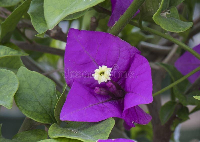 Nahaufnahme einer purpurroten Königin bougainvilla Blüte lizenzfreie stockbilder