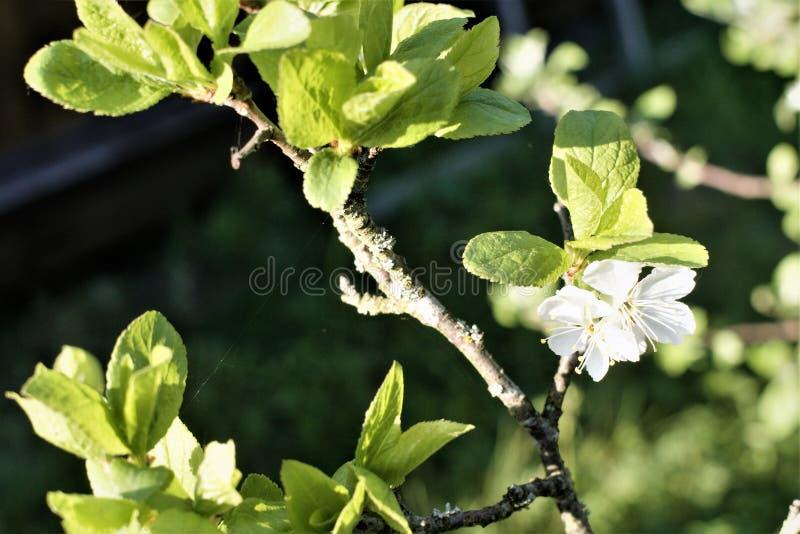 Nahaufnahme einer reizend einzelnen Kirschbaumblume stockfotografie