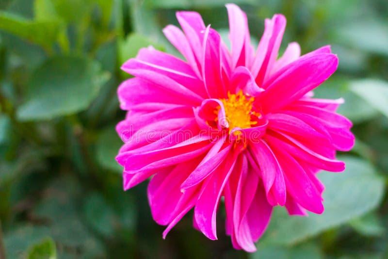 Nahaufnahme einer rosa Dahlienblume im Garten lizenzfreies stockbild