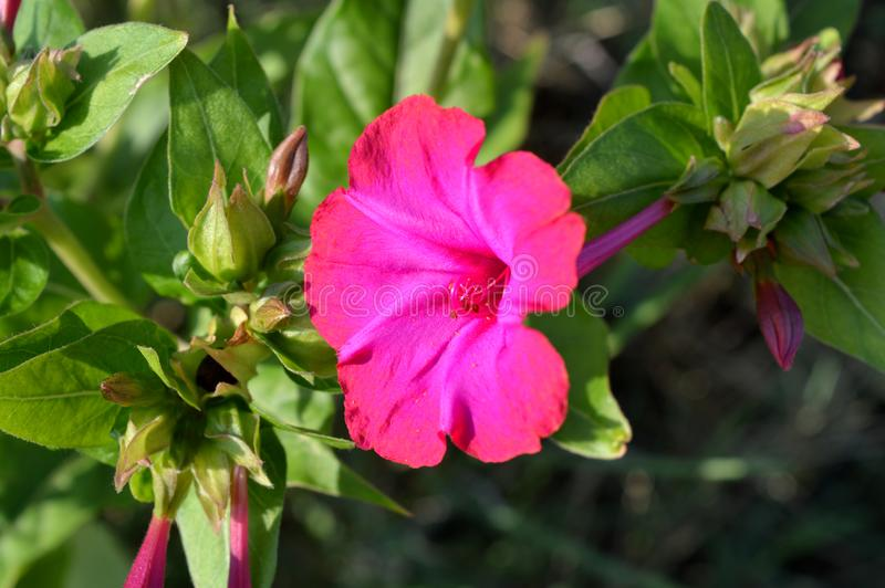 Nahaufnahme einer rosa Mirabilis Jalapa-Blume, Wunder von Peru, vier O-` Uhr Blume, Makro, Natur stockbild