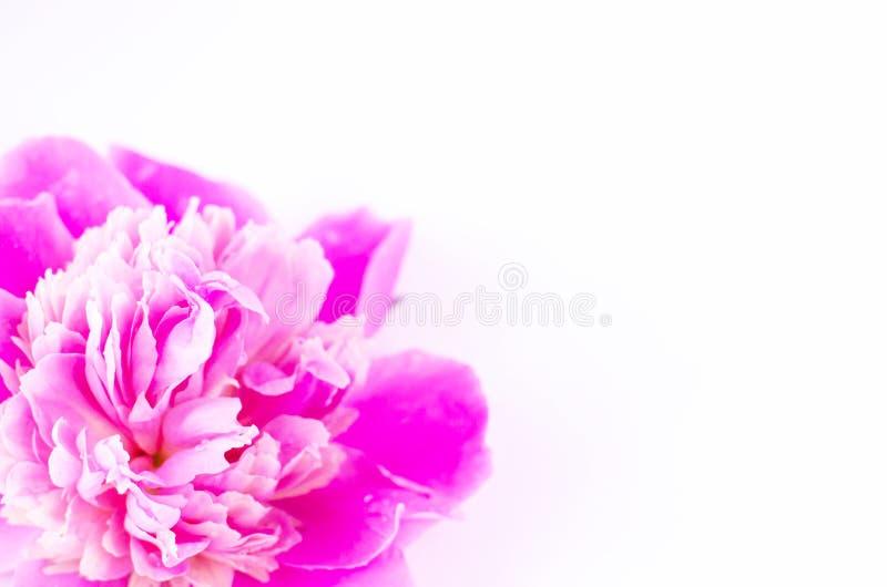 Nahaufnahme einer rosa Pfingstrosenknospe auf einem wei?en Hintergrund stockfoto
