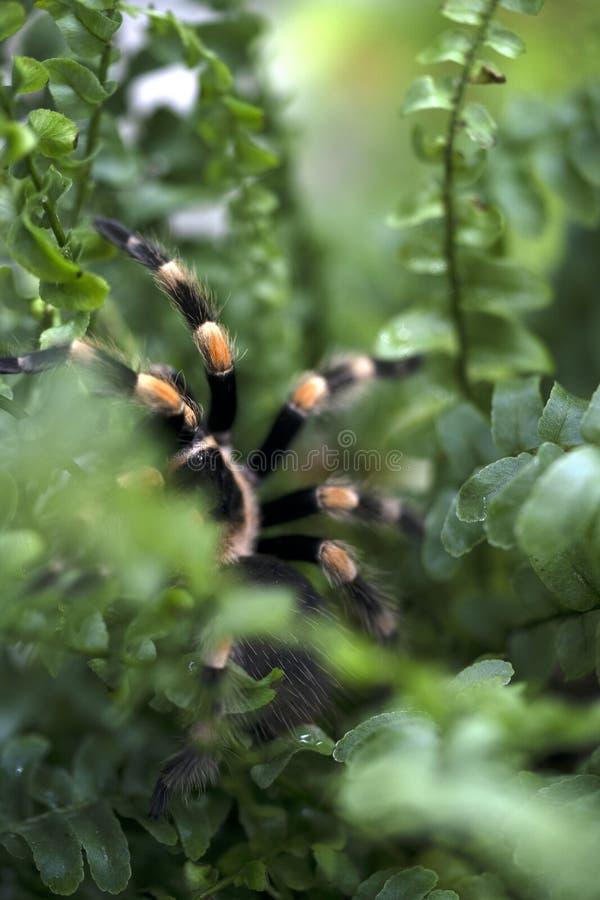 Nahaufnahme einer schwarzen gro?en Spinne mit den orange Streifen, die in einem Farn Bush sitzen lizenzfreie stockfotos