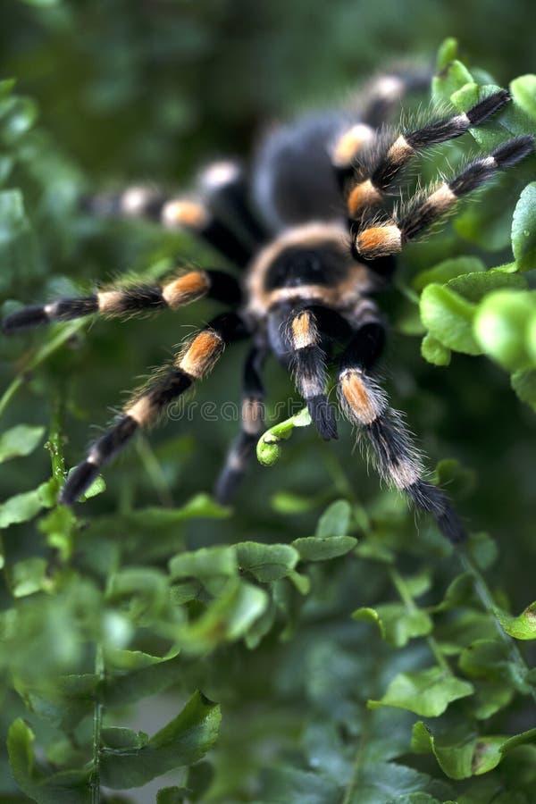 Nahaufnahme einer schwarzen gro?en Spinne mit den orange Streifen, die in einem Farn Bush sitzen lizenzfreie stockbilder