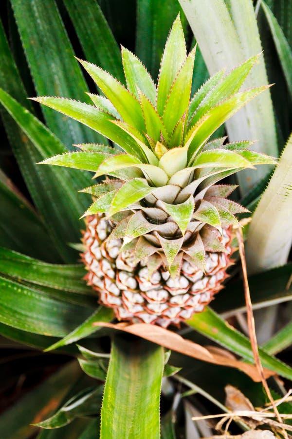 Nahaufnahme einer wachsenden Ananas von oben lizenzfreie stockfotos