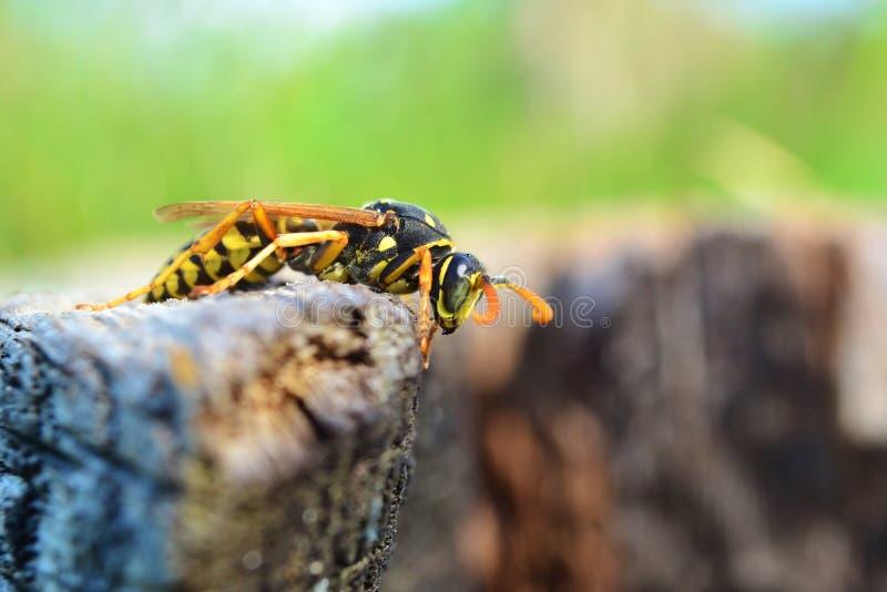 Nahaufnahme einer Wespe stockbild