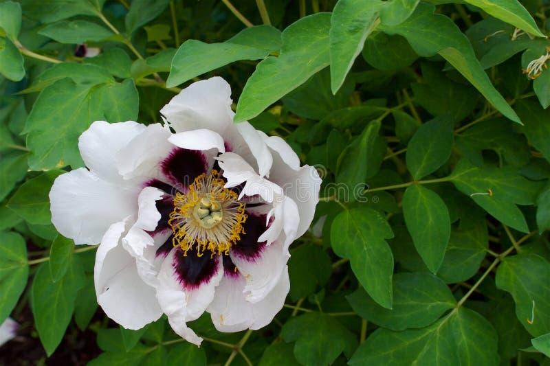 Nahaufnahme einer wilden weißen Pfingstrosenblume mit einer purpurroten Mitte lizenzfreie stockfotos