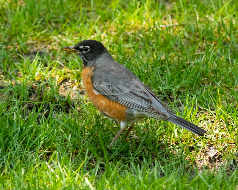 Nahaufnahme eines amerikanischen Robin lizenzfreies stockfoto
