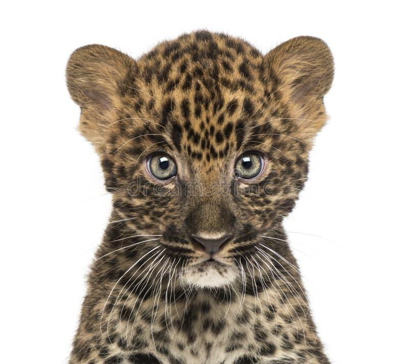 Nahaufnahme eines beschmutzten Leopardjungen, das an der Kamera die Hauptrolle spielt lizenzfreie stockfotografie