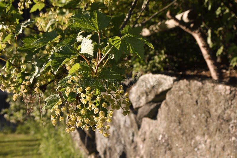 Nahaufnahme eines blühenden nigrum Ribes busch der schwarzen Johannisbeere lizenzfreie stockbilder