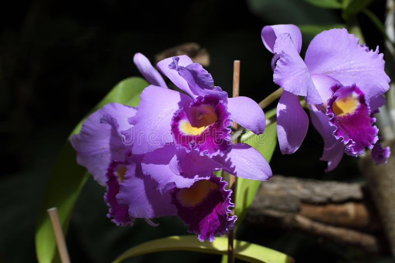 Nahaufnahme eines blühenden orchide Phalaenopsis lizenzfreie stockfotos