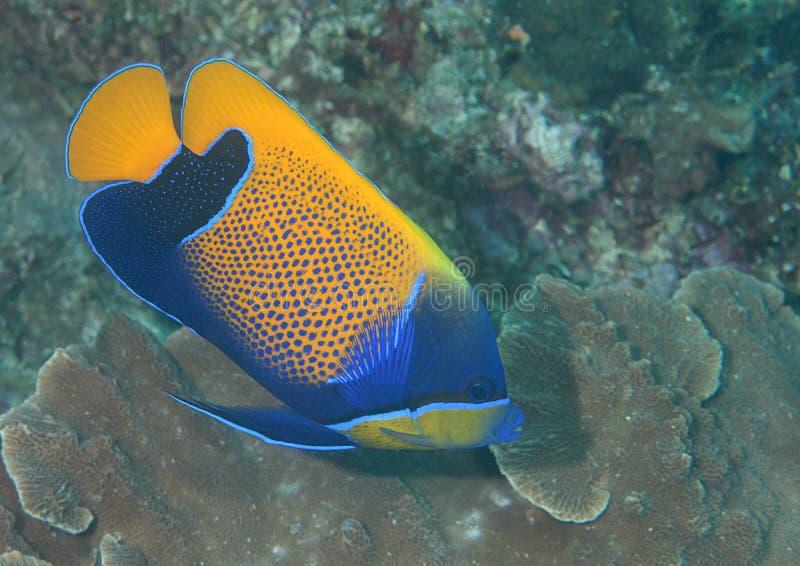 Nahaufnahme eines blueface Engelhais, der über Korallen von Bali schwimmt stockbilder
