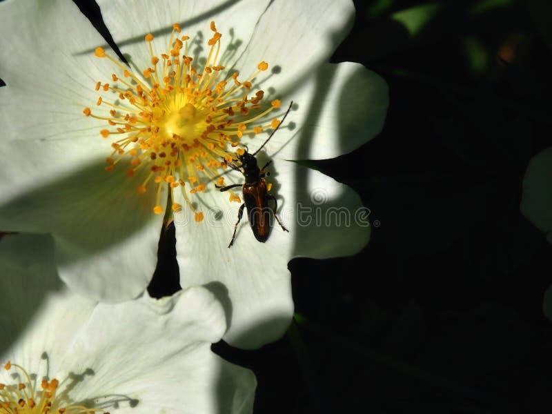 Nahaufnahme eines braunen Käfers in einer Blume stockfotografie