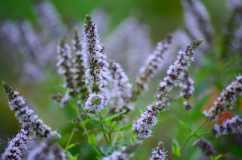 Nahaufnahme eines Busches der blühenden Melisse stockfotos