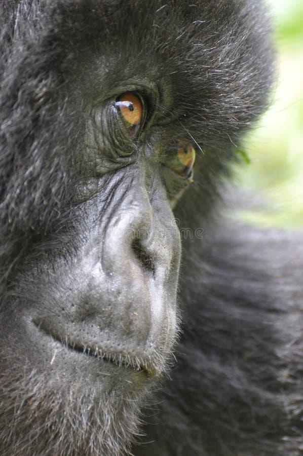 Nahaufnahme eines Gebirgsgorillas stockfotografie