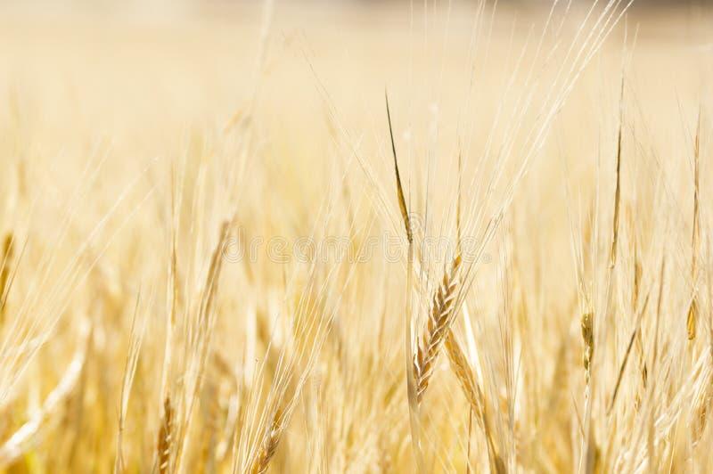Nahaufnahme eines goldenen Weizen-Feldes und des Sunny Days stockbild