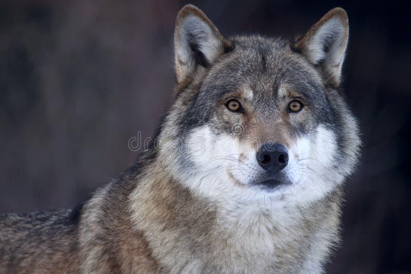 Nahaufnahme eines grauen Wolfs (Canis Lupus) stockfotos