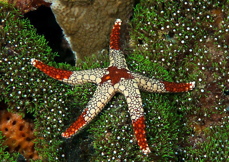 Nahaufnahme eines Halskette Starfish, Fromia-monilis, die auf Koralle von Bali stillstehen lizenzfreie stockfotografie