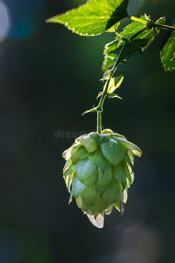 Nahaufnahme eines hintergrundbeleuchteten allgemeinen Blütenzapfens des Hopfens lizenzfreie stockfotos
