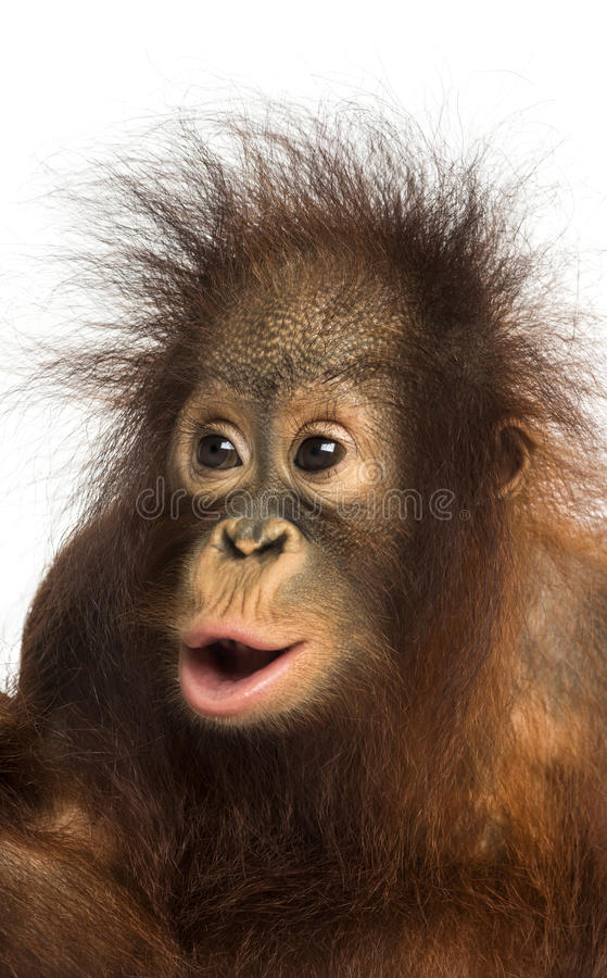 Nahaufnahme eines jungen Bornean-Orang-Utans, der überrascht schaut lizenzfreies stockbild