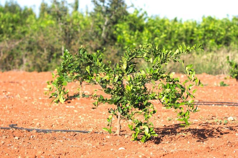 Nahaufnahme eines jungen Orangenbaums auf dem Feld stockfotografie