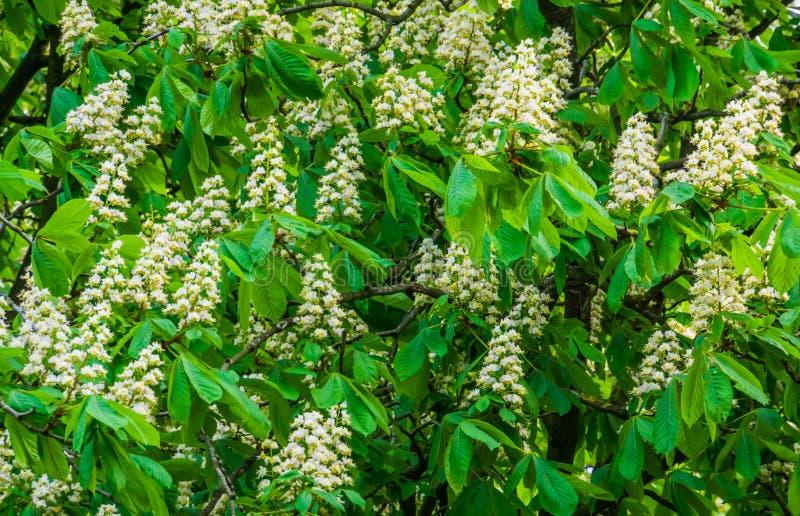Nahaufnahme eines Kastanienbaums in der Blüte, in den weißen Kerzenblumen während der Frühlings-Saison, in den Blütenpflanzen und lizenzfreie stockfotos