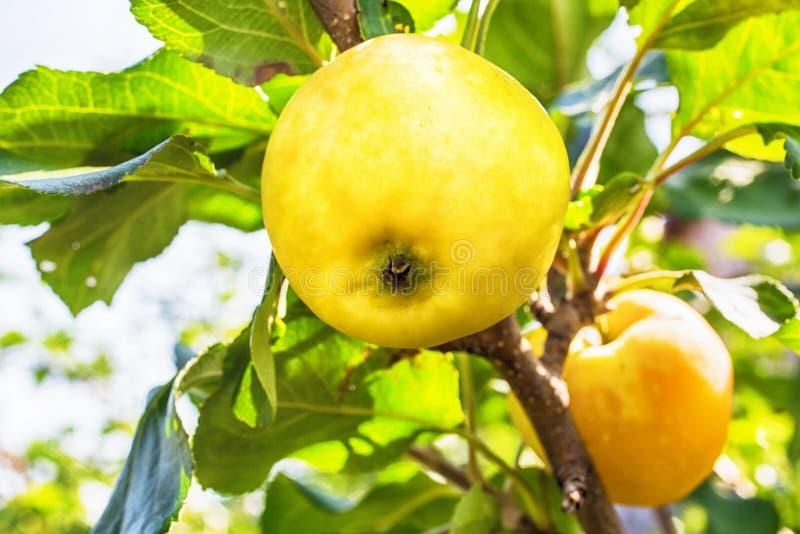 Nahaufnahme eines kleinen gelben Apfels stockfotos