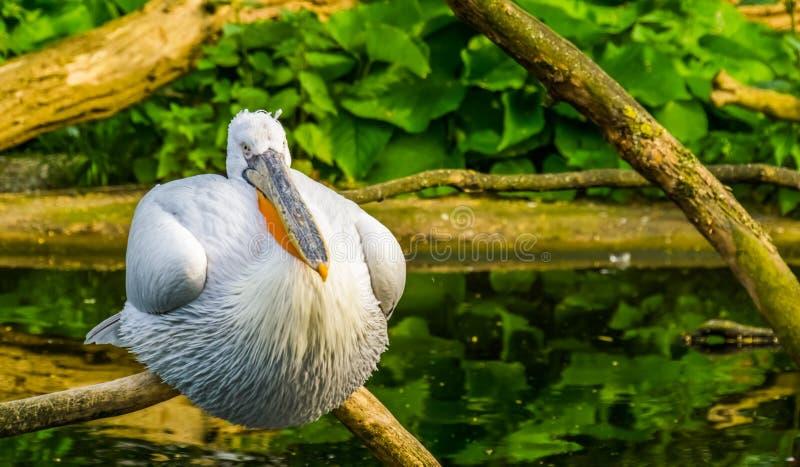 Nahaufnahme eines Krauskopfpelikans, der auf einem Baumast, nahe bedrohtem Wasservogel Specie von Europa sitzt lizenzfreie stockbilder