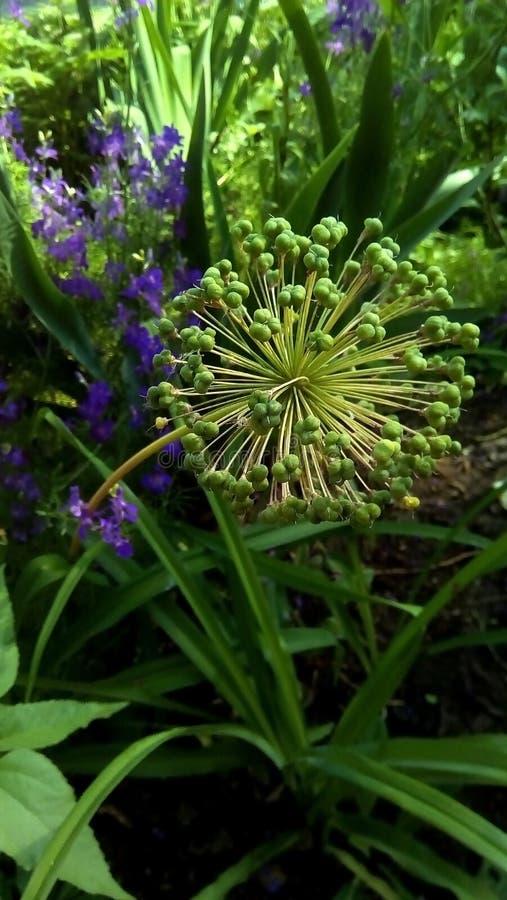 Nahaufnahme eines kugelförmigen Stammes einer verblaßten Blume stockbild