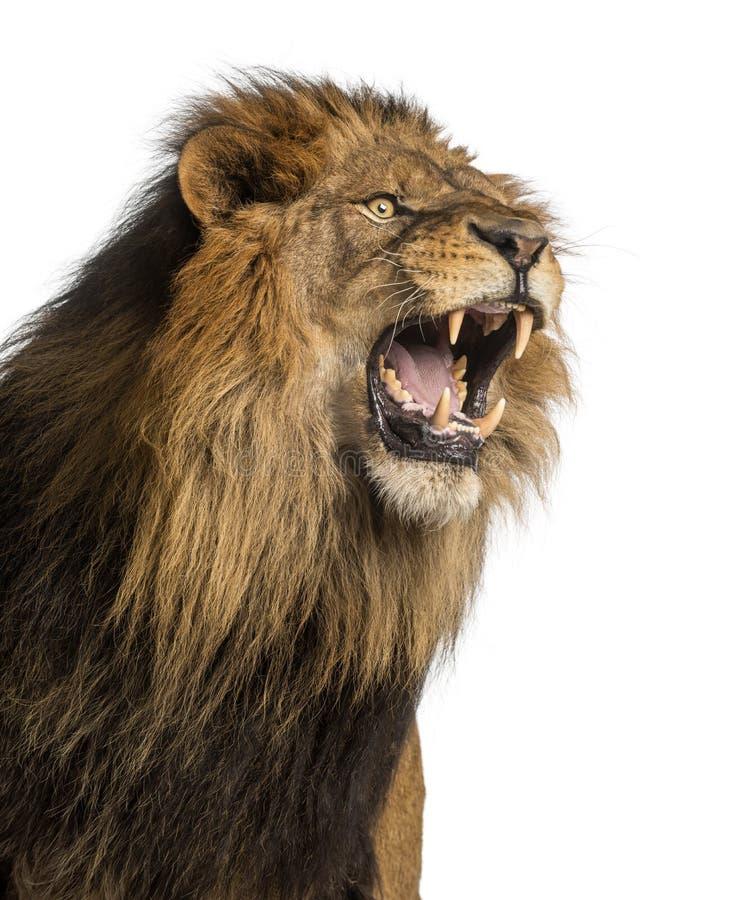 Nahaufnahme eines Löwes, der, Panthera Löwe, 10 Jahre alt, lokalisiert brüllt stockbild