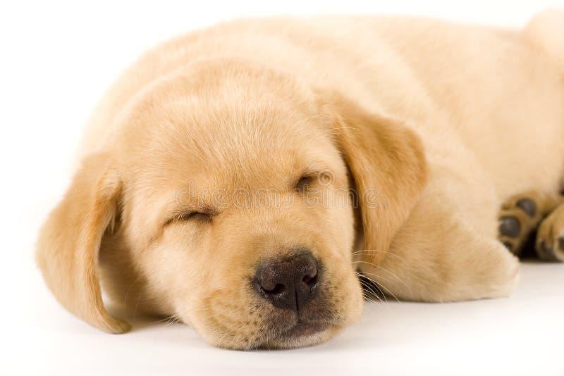 Nahaufnahme eines Labrador-Apportierhundwelpenschlafens stockfotos