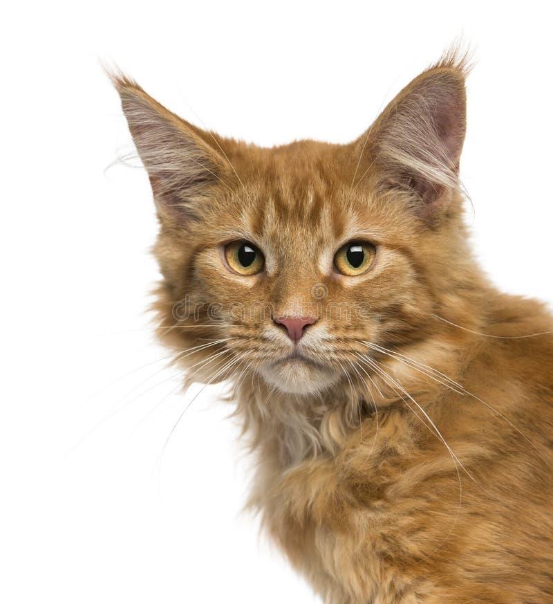 Nahaufnahme eines Maine Coon-Kätzchens, welches die Kamera betrachtet lizenzfreies stockfoto