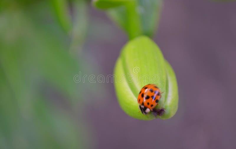 Nahaufnahme eines Marienkäfers auf einem grünen fon lizenzfreie stockfotos