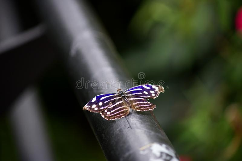 Nahaufnahme eines mexikanischen entspannenden Bluewing-Schmetterlinges lizenzfreies stockfoto