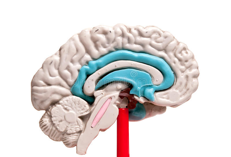 Nahaufnahme eines Modells des menschlichen Gehirns auf weißem Hintergrund stockfoto