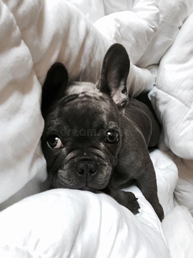 Nahaufnahme eines netten schwarzen Bulldoggenwelpen, der auf eine weiße Decke legt lizenzfreies stockfoto
