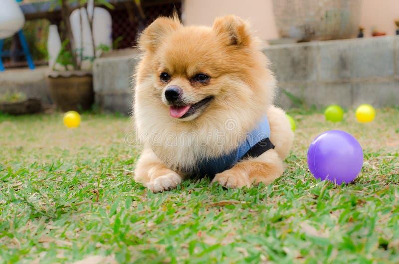 Nahaufnahme eines Pomeranian-Hundes, der auf Gras sitzt lizenzfreie stockfotos
