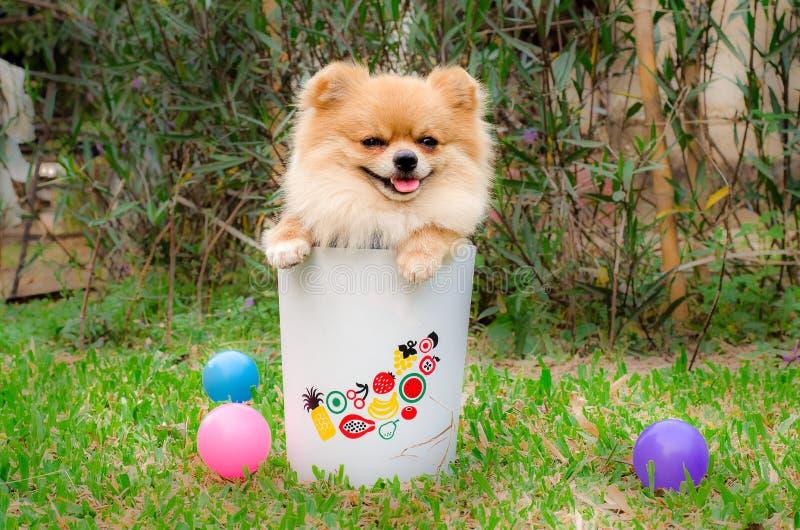Nahaufnahme eines Pomeranian-Hundes im Behälter auf Gras stockbilder