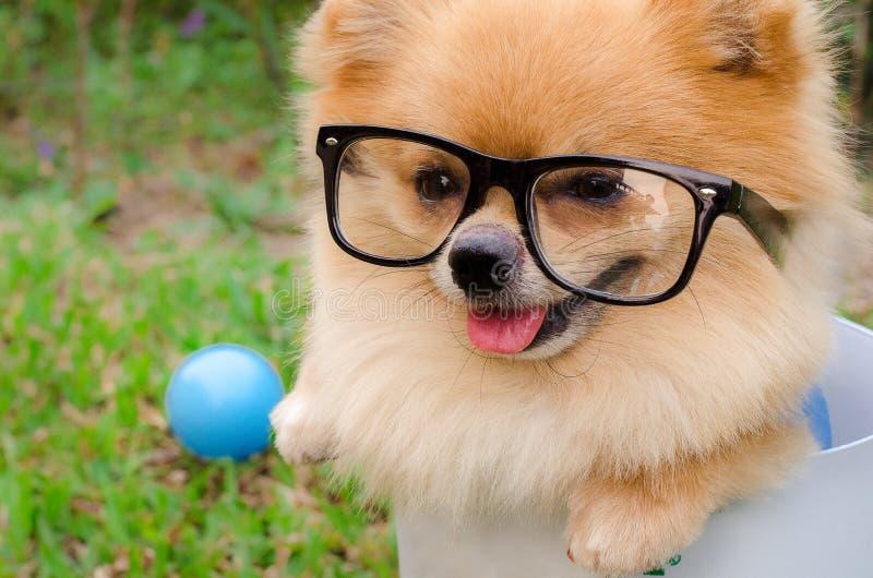 Nahaufnahme eines Pomeranian-Hundes im Behälter auf Gras lizenzfreies stockfoto