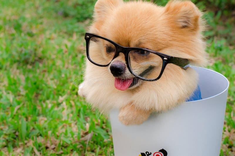 Nahaufnahme eines Pomeranian-Hundes im Behälter auf Gras stockbild
