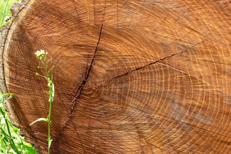 Nahaufnahme eines Querschnitts eines verringerten Baums, liegend in einer Wiese des grünen Grases und zeigen Jahrringe lizenzfreies stockbild