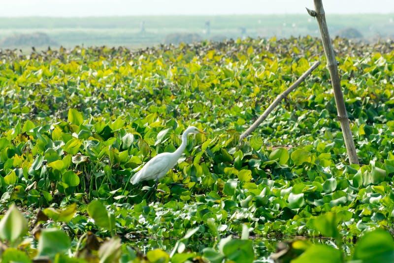 Nahaufnahme eines Reiherreiher Ardea alba, ein Hühnergrößenvogel, der Nahrung auf dem Seegebiet mit blühendem Wasser Hyacinth Eic lizenzfreies stockbild