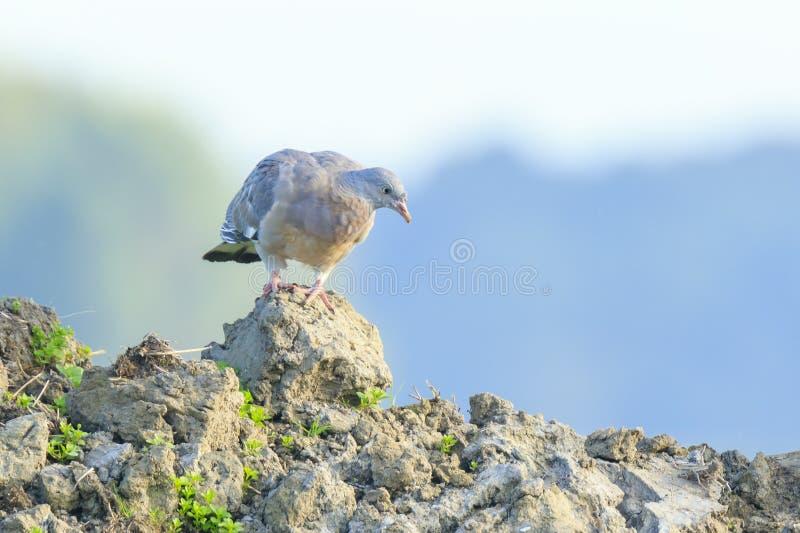 Nahaufnahme eines Ringeltaubevogels, Columba palumbus, aufwerfend und putzen sich lizenzfreie stockfotografie